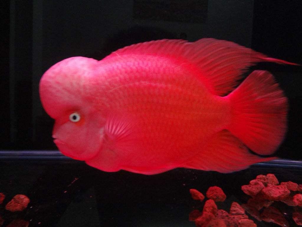 罗汉鱼增加体色及大额珠方法